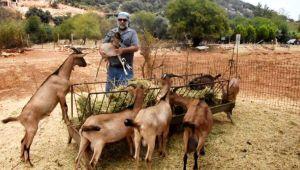 Antalya'nın Kaş İlçesinde Doğadaki çiftleşmeden yeni keçi ırkı