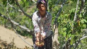 İzmir'de bu kış inciri çok pahalı yiyeceğiz!