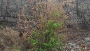 Muğla'da yangın sonrası küllerinden doğan ağaç!
